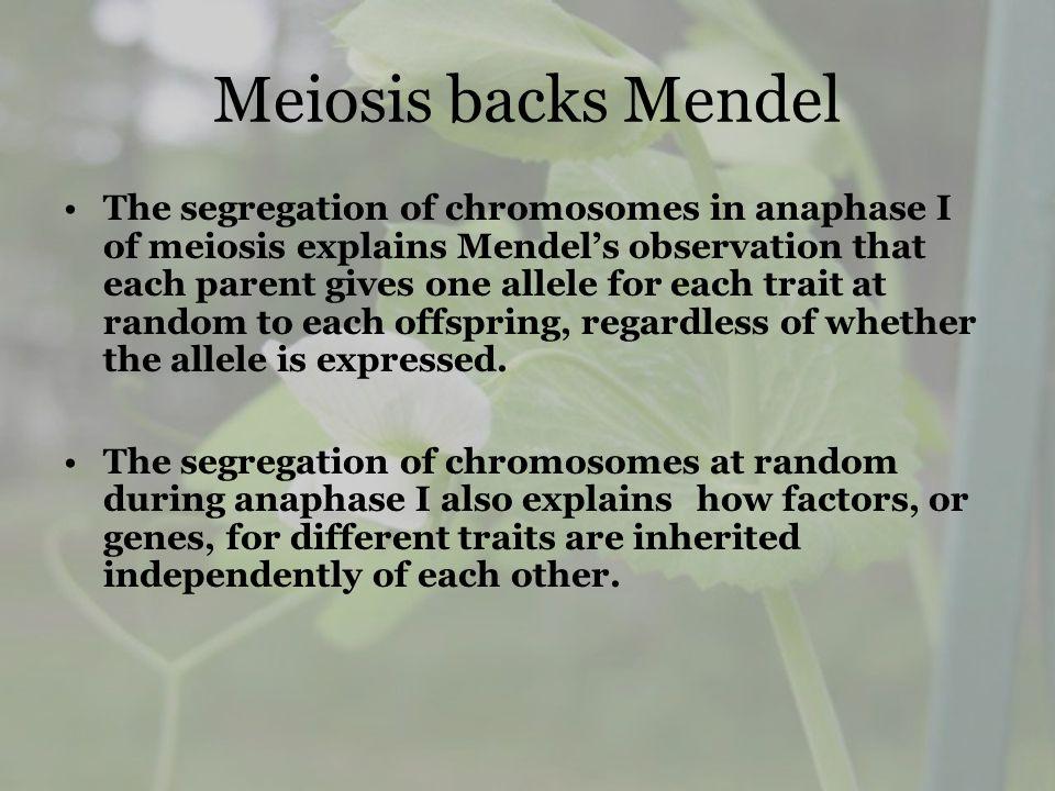 Meiosis backs Mendel The segregation of chromosomes in anaphase I of meiosis explains Mendels observation that each parent gives one allele for each t