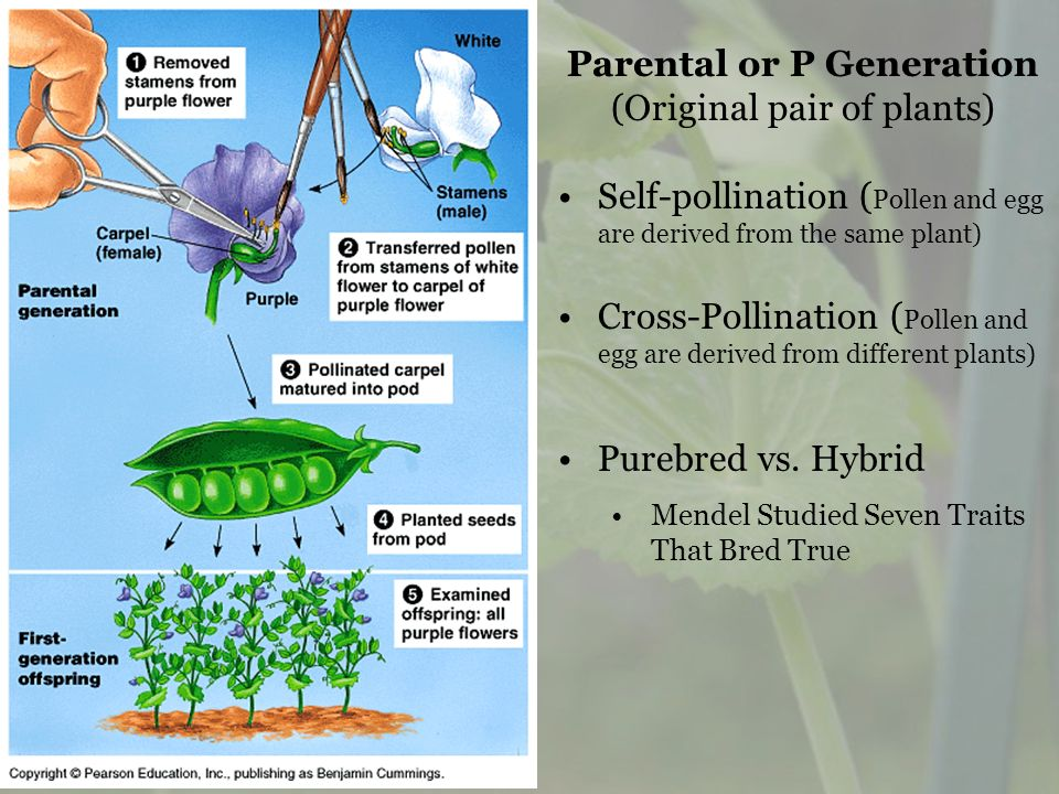 Parental or P Generation (Original pair of plants) Self-pollination ( Pollen and egg are derived from the same plant) Cross-Pollination ( Pollen and e