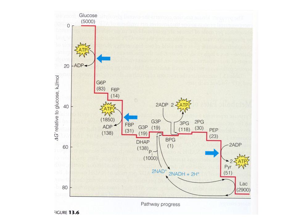 Pancreas Glucagon Liver Glycogen Glucose F6P F1,6BP Pyruvate PK F2,6BP PFK Glucose (Blood) Brain Epinephrine Adrenal Medulla Glucose Muscle Glycogen F6PF2,6BP PFK F1,6BP Pyruvate PK + + + + + + + +