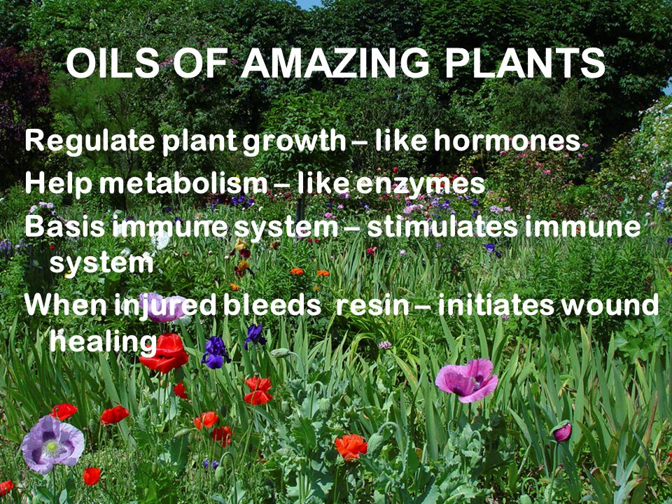 OILS OF AMAZING PLANTS Regulate plant growth – like hormones Help metabolism – like enzymes Basis immune system – stimulates immune system When injure