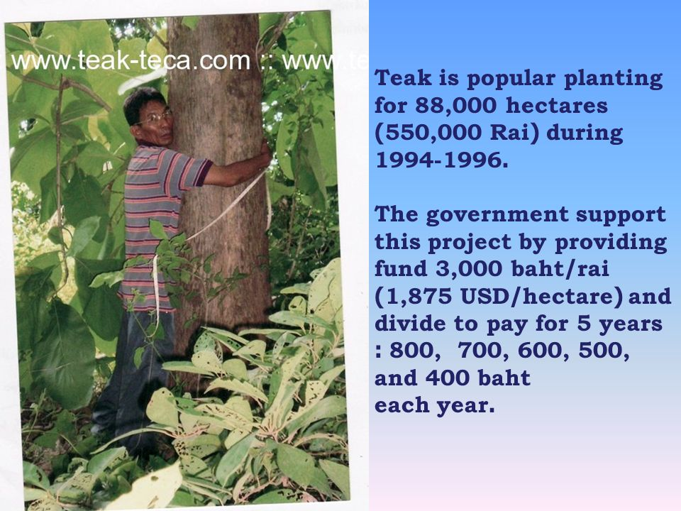 Teak is popular planting for 88,000 hectares (550,000 Rai) during 1994-1996. The government support this project by providing fund 3,000 baht/rai (1,8
