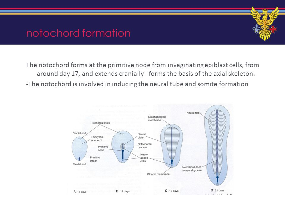 notochord formation The notochord forms at the primitive node from invaginating epiblast cells, from around day 17, and extends cranially - forms the