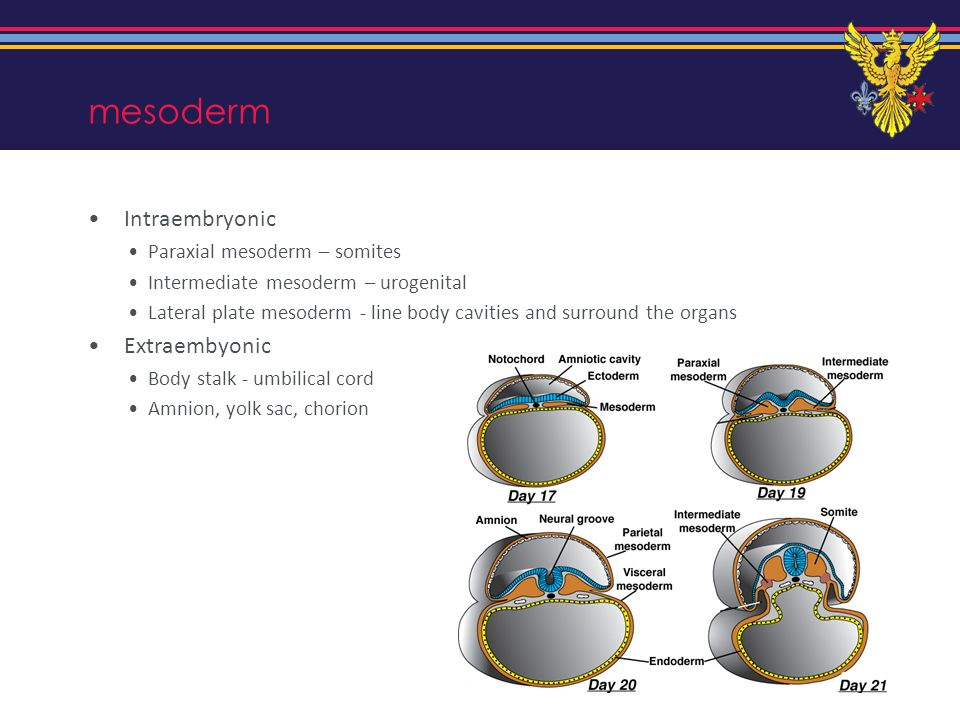Lateral folding Axis elongates Lateral plate mesoderm develops a cavity (intraembryonic coelom) splits into two mesoderm layers parietal (adjacent to ectoderm) lines body cavities and forms body wall Visceral (adjacent to endoderm) forms gut wall Turns the embryos body into a cylinder instead of a sheet Rolls up the gut tube and nips it off from the yolk sac Cuts the intraembryonic coelom off from the chorionic cavity Means that the amniotic cavity surrounds the embryo except at the body stalk
