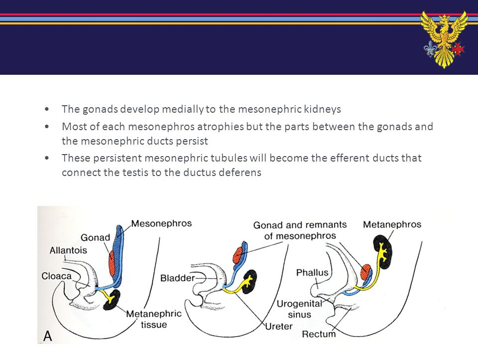 paramesonephric ducts The paramesonephric (formerly called Mullerian) ducts develop in the most lateral part of the intermediate mesoderm in both sexes In males they play no important part in development In females they become the uterine tubes, uterus and upper vagina
