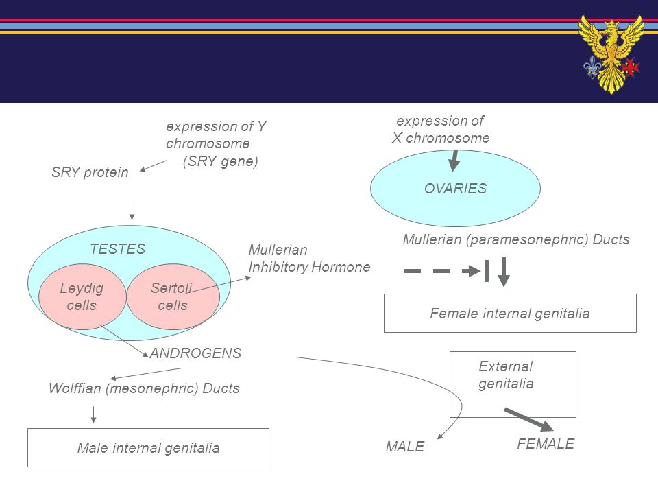 expression of Y chromosome (SRY gene) SRY protein Sertoli cells Leydig cells TESTES FEMALE expression of X chromosome OVARIES Mullerian (paramesonephr