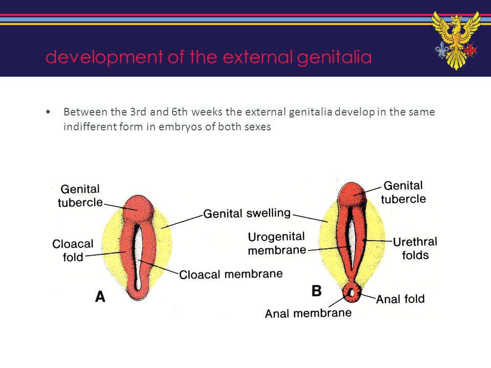 development of the external genitalia Between the 3rd and 6th weeks the external genitalia develop in the same indifferent form in embryos of both sex