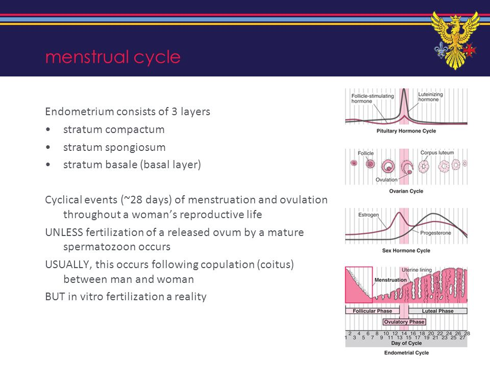 menstrual cycle Endometrium consists of 3 layers stratum compactum stratum spongiosum stratum basale (basal layer) Cyclical events (~28 days) of menst
