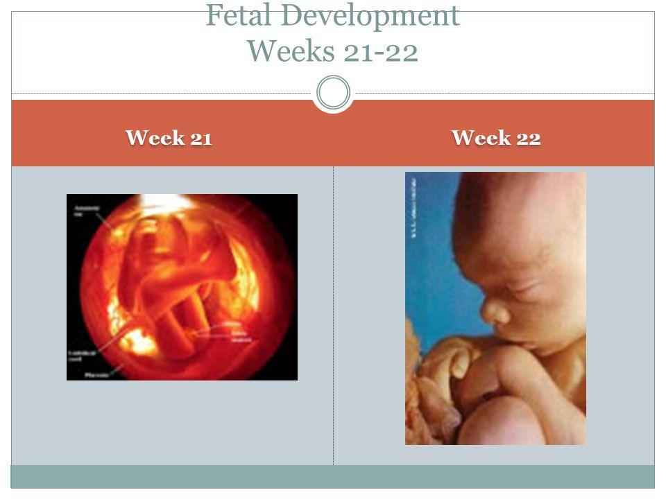 Week 21 Week 22 Fetal Development Weeks 21-22