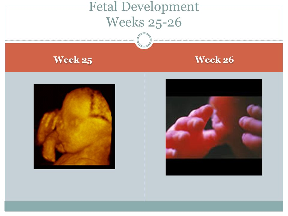 Week 25 Week 26 Fetal Development Weeks 25-26