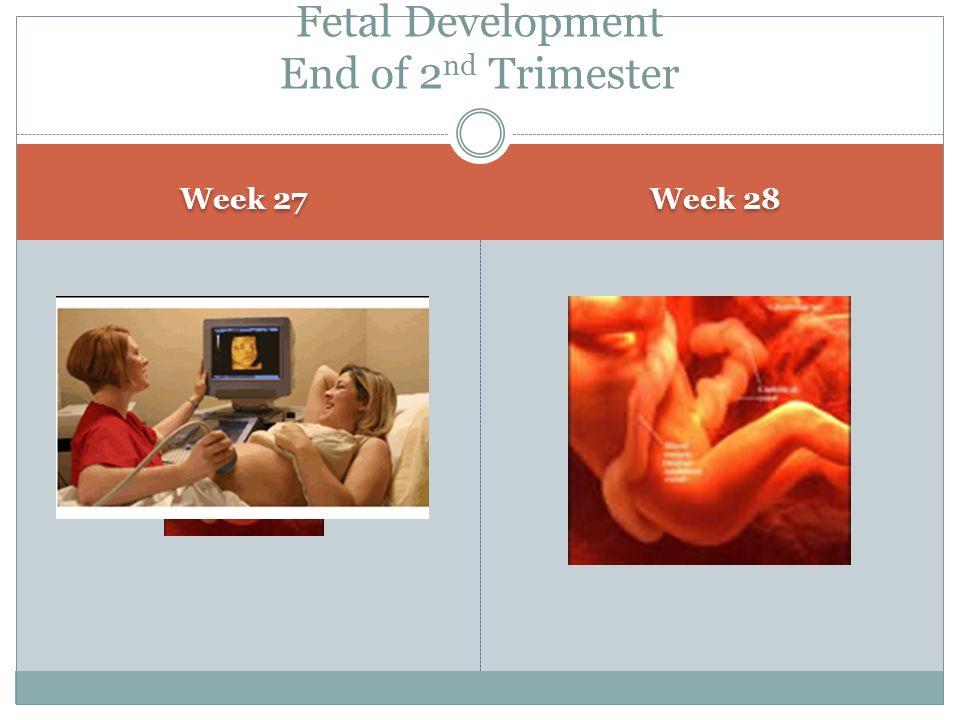 Week 27 Week 28 Fetal Development End of 2 nd Trimester