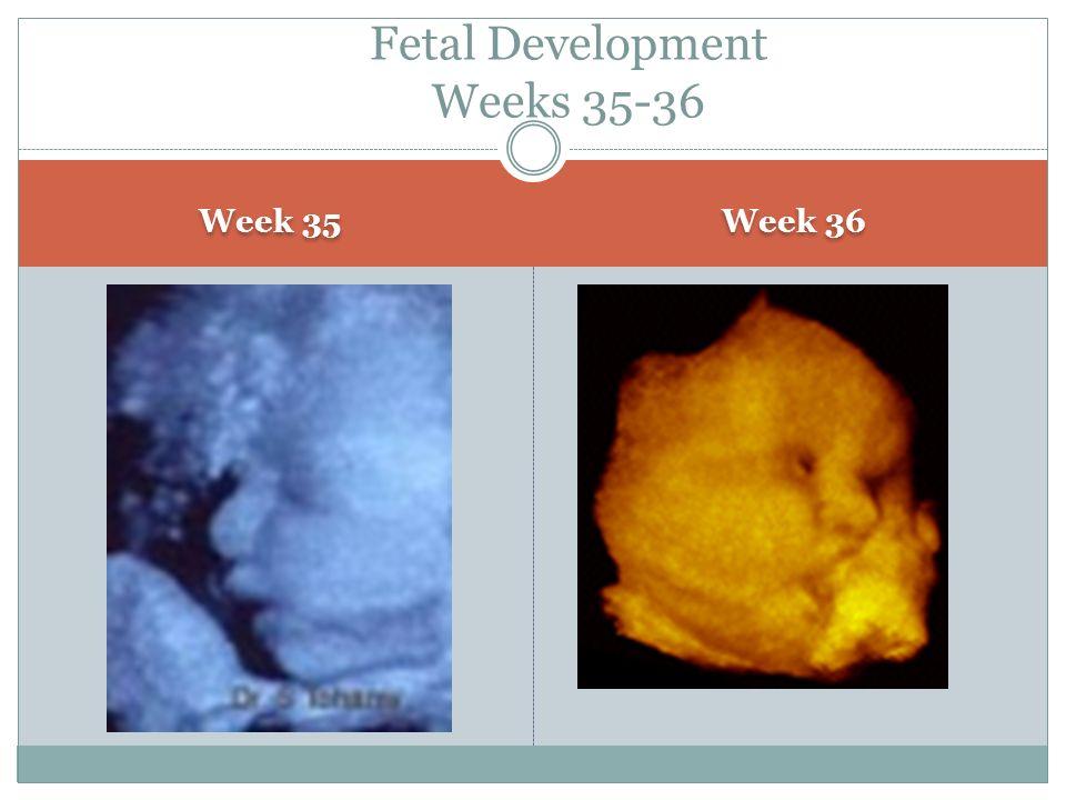 Week 35 Week 36 Fetal Development Weeks 35-36