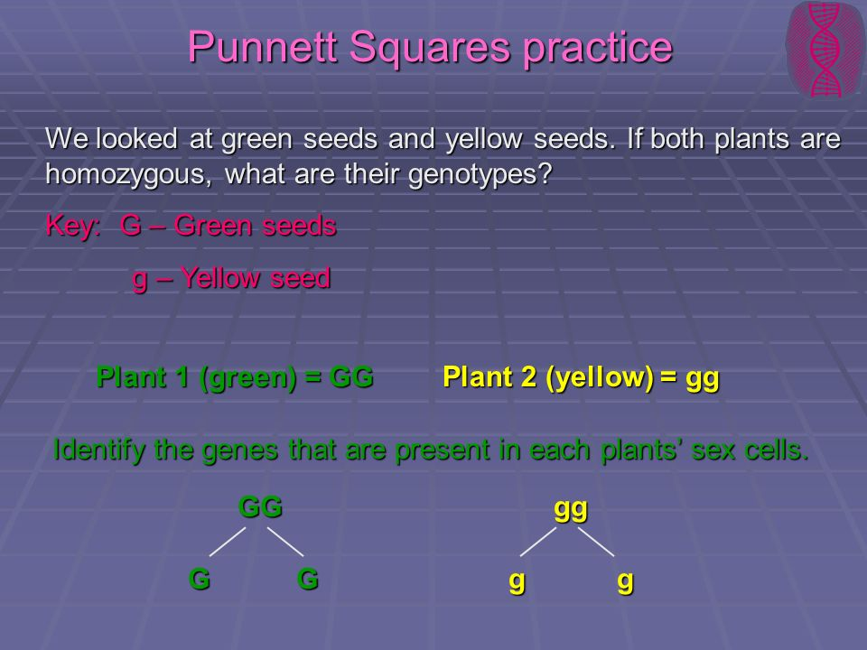 Punnett Squares practice We looked at green seeds and yellow seeds. If both plants are homozygous, what are their genotypes? Key: G – Green seeds g –