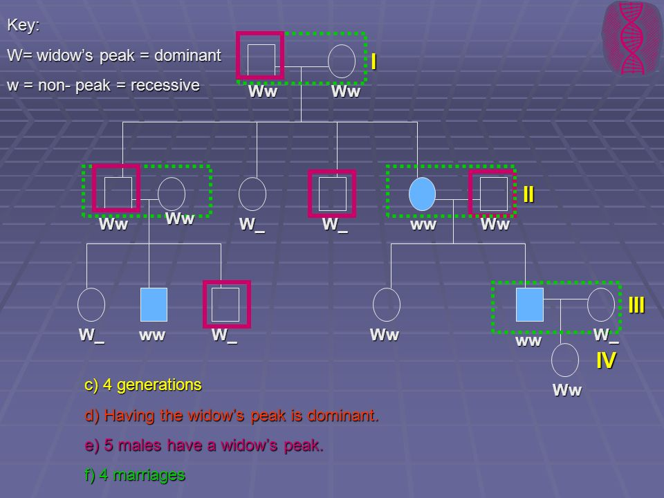 Key: W= widows peak = dominant w = non- peak = recessive c) 4 generations d) Having the widows peak is dominant. e) 5 males have a widows peak. f) 4 m