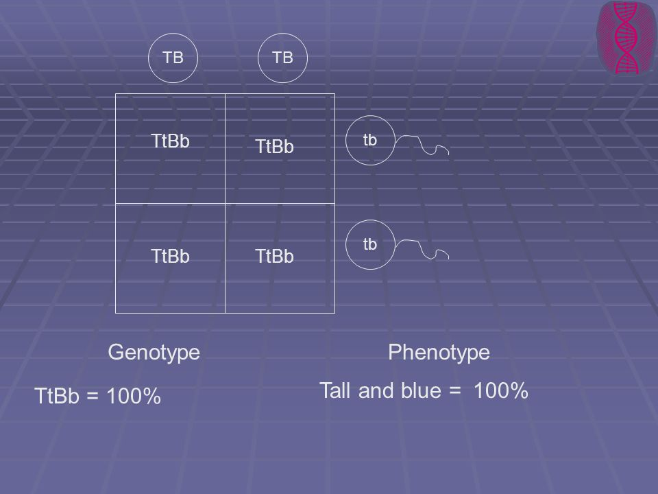 TB tb TtBb GenotypePhenotype TtBb =100% Tall and blue =100%