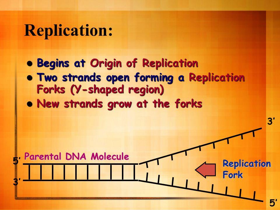 Replication: Begins at Origin of Replication Begins at Origin of Replication Two strands open forming a Replication Forks (Y-shaped region) Two strands open forming a Replication Forks (Y-shaped region) New strands grow at the forks New strands grow at the forks ReplicationFork Parental DNA Molecule 3 5 3 5