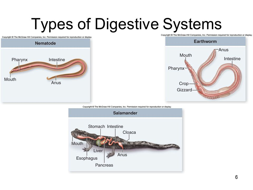 6 Types of Digestive Systems