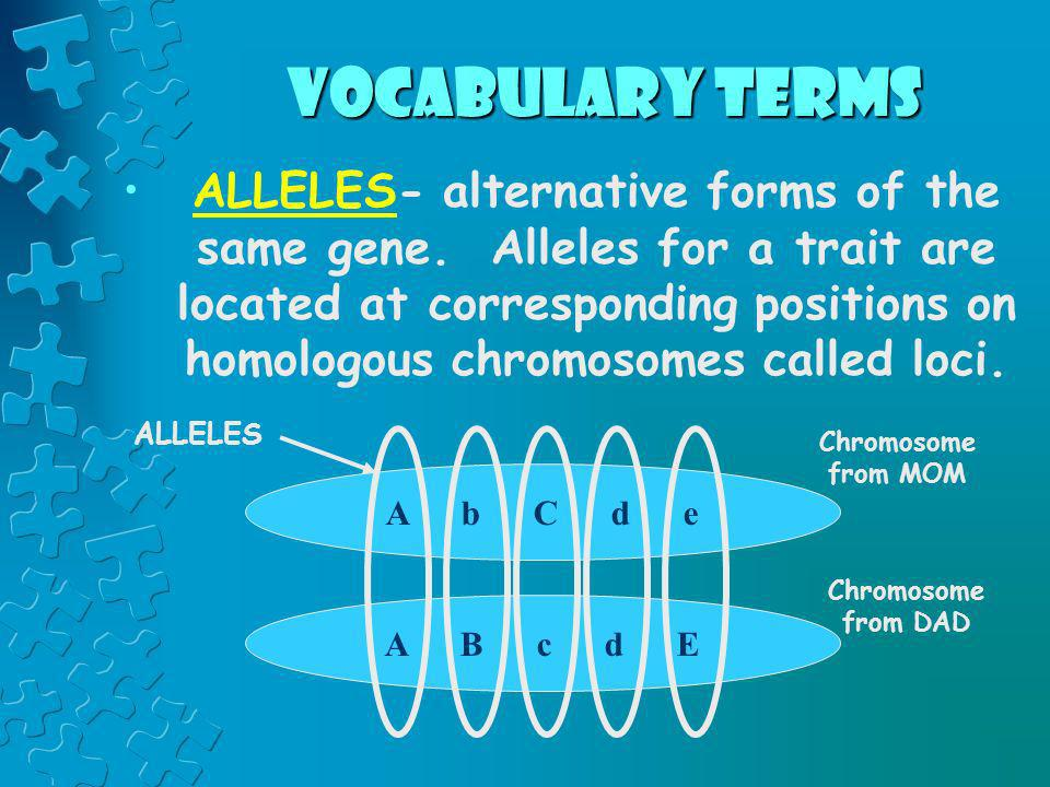 vocabulary terms ALLELES- alternative forms of the same gene. Alleles for a trait are located at corresponding positions on homologous chromosomes cal