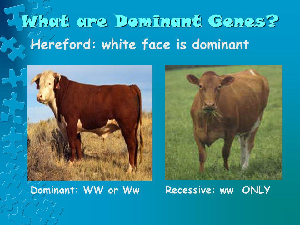 What are Dominant Genes? Hereford: white face is dominant Dominant: WW or WwRecessive: ww ONLY