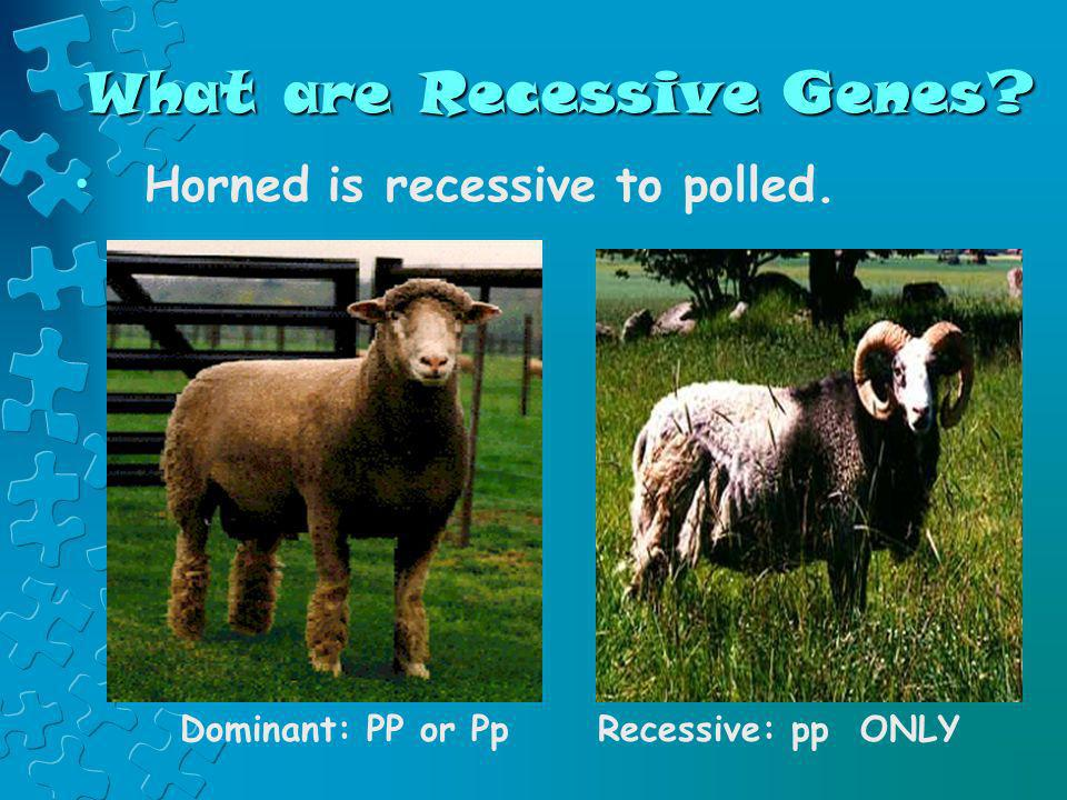 What are Recessive Genes? Horned is recessive to polled. Dominant: PP or PpRecessive: pp ONLY