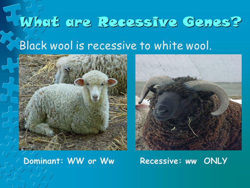 What are Recessive Genes? Black wool is recessive to white wool. Dominant: WW or WwRecessive: ww ONLY