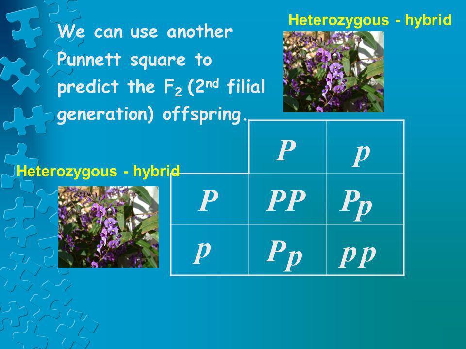 PPP Pp p p p Pp P p We can use another Punnett square to predict the F 2 (2 nd filial generation) offspring. Heterozygous - hybrid