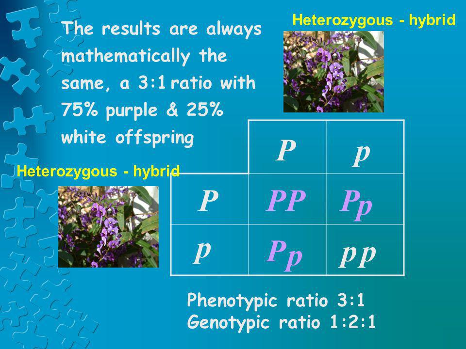 PPP Pp p p p Pp P p The results are always mathematically the same, a 3:1 ratio with 75% purple & 25% white offspring Heterozygous - hybrid Phenotypic
