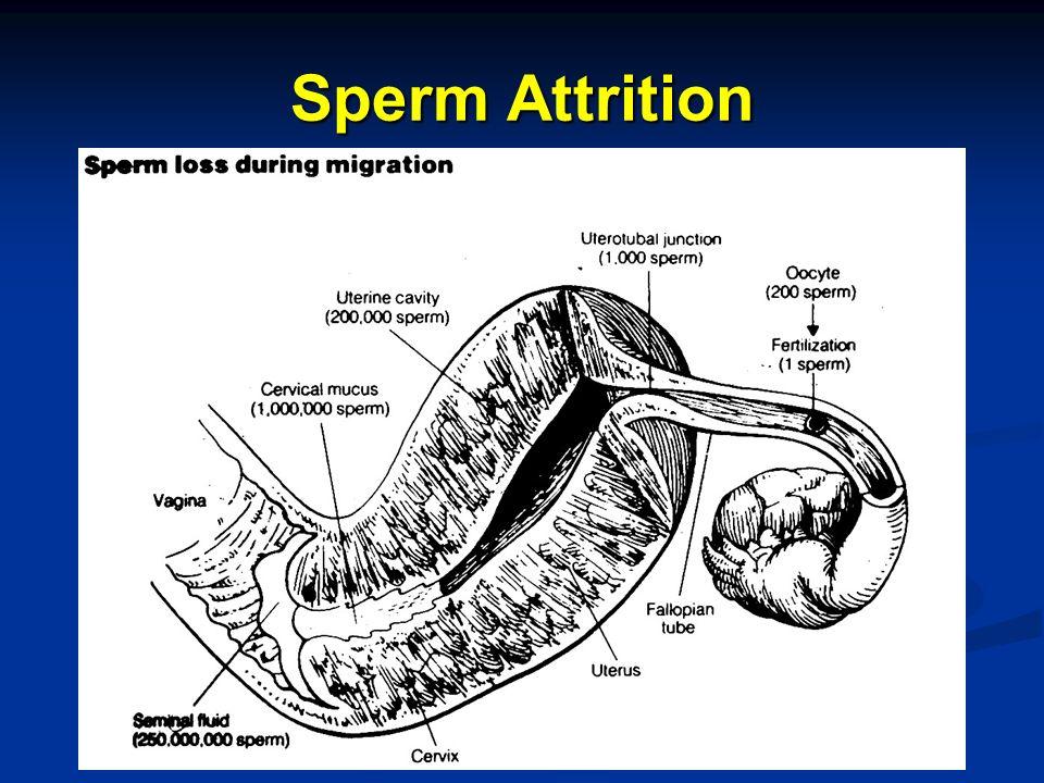 Sperm Attrition