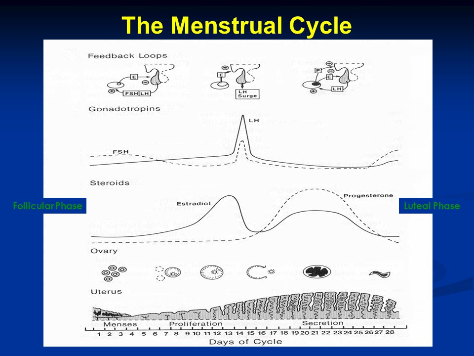The Menstrual Cycle Follicular PhaseLuteal Phase