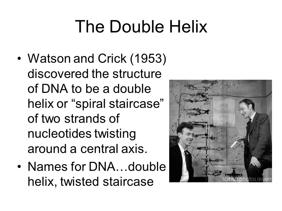 The Double Helix Watson and Crick (1953) discovered the structure of DNA to be a double helix or spiral staircase of two strands of nucleotides twisti