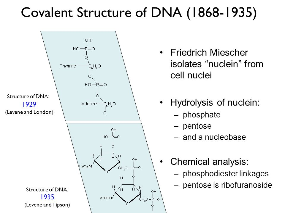 Covalent Structure of DNA (1868-1935) Friedrich Miescher isolates nuclein from cell nuclei Hydrolysis of nuclein: –phosphate –pentose –and a nucleobas