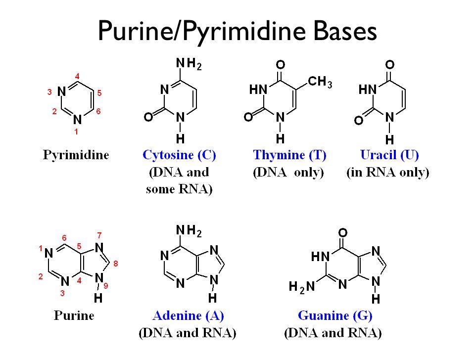 -N-glycoside adenosine [a nucleoside] adenosine monophosphate [a nucleotide] 1 2 3 5 4 adenine ribose 9