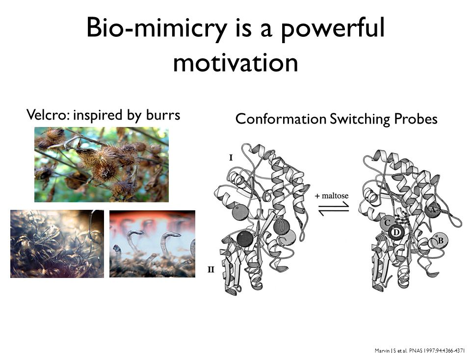 Bio-mimicry is a powerful motivation Velcro: inspired by burrs Conformation Switching Probes Marvin J S et al. PNAS 1997;94:4366-4371