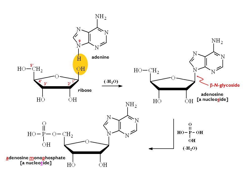-N-glycoside adenosine [a nucleoside] adenosine monophosphate [a nucleotide] 1' 2'3' 5' 4' adenine ribose 9