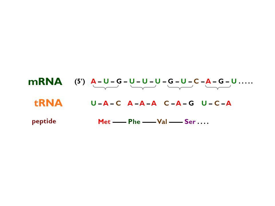A – U – G – U – U – U – G – U – C – A – G – U..... mRNA tRNA peptide Met –––– Phe –––– Val –––– Ser.... (5') U – A – C – A – A – A – C – A – G – U – C