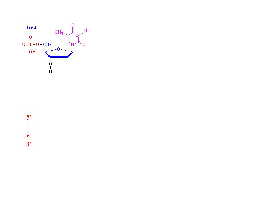 Covalent Structure of DNA (1868-1935) Friedrich Miescher isolates nuclein from cell nuclei Hydrolysis of nuclein: –phosphate –pentose –and a nucleobase Chemical analysis: –phosphodiester linkages –pentose is ribofuranoside Structure of DNA: 1929 (Levene and London) Structure of DNA: 1935 (Levene and Tipson)