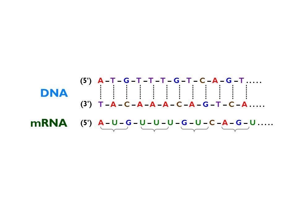 DNA T – A – C – A – A – A – C – A – G – T – C – A..... A – T – G – T – T – T – G – T – C – A – G – T..... (3') (5') peptide Met –––– Phe –––– Val ––––