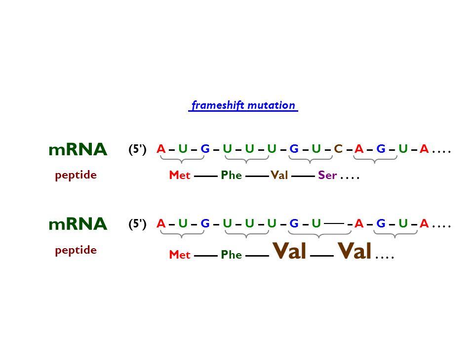 peptide Met –––– Phe –––– Val –––– Ser.... mRNA (5') frameshift mutation peptide Met –––– Phe –––– Val –––– Val.... A – U – G – U – U – U – G – U – C