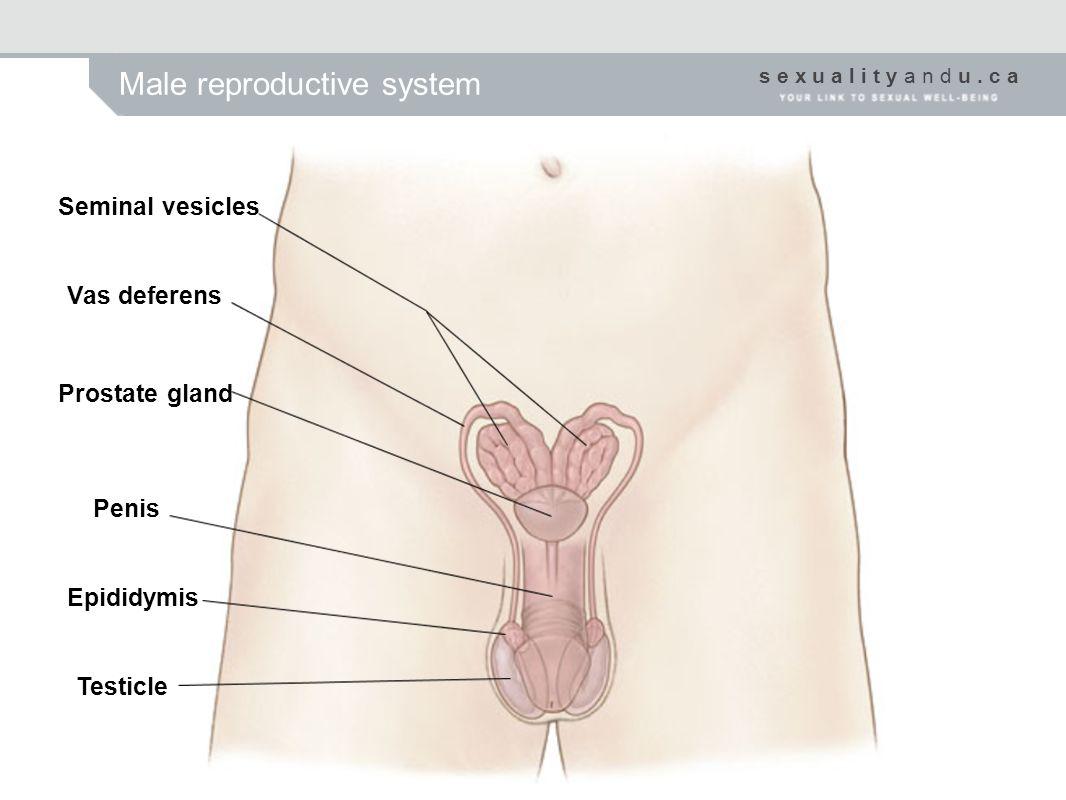 s e x u a l i t y a n d u. c a Male reproductive system Seminal vesicles Vas deferens Prostate gland Penis Epididymis Testicle