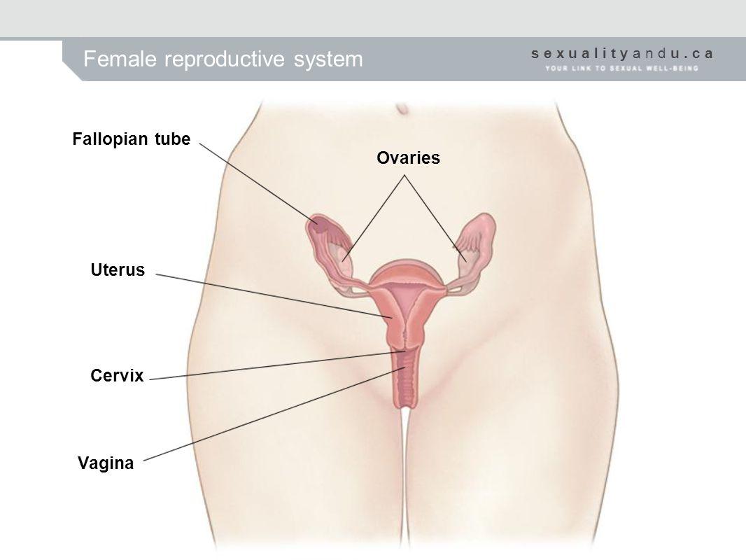 s e x u a l i t y a n d u. c a Female reproductive system Fallopian tube Ovaries Uterus Cervix Vagina