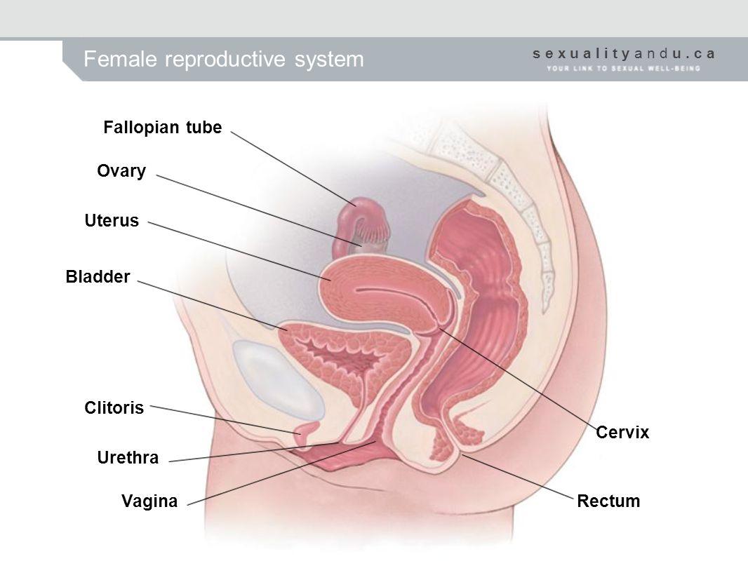 s e x u a l i t y a n d u. c a Female reproductive system Fallopian tube Ovary Uterus Bladder Clitoris Urethra Vagina Cervix Rectum