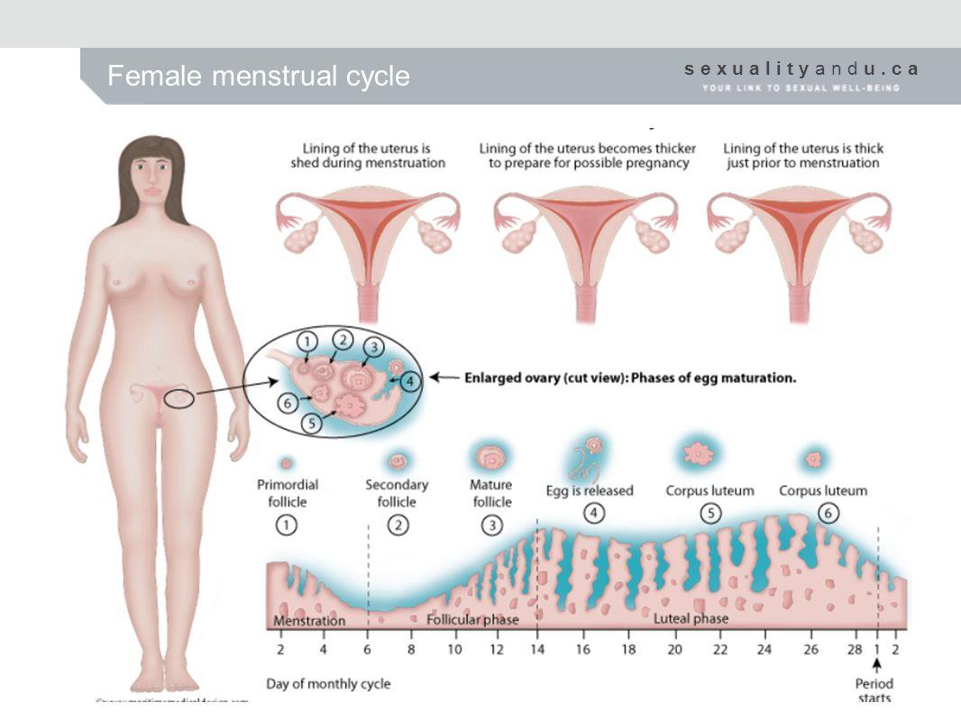 s e x u a l i t y a n d u. c a Female menstrual cycle