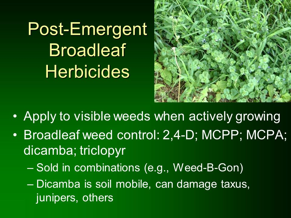 Post-Emergent Broadleaf Herbicides Apply to visible weeds when actively growing Broadleaf weed control: 2,4-D; MCPP; MCPA; dicamba; triclopyr –Sold in
