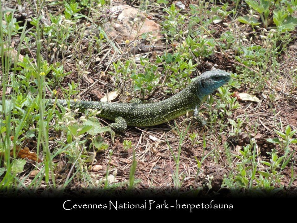 Cevennes National Park - herpetofauna