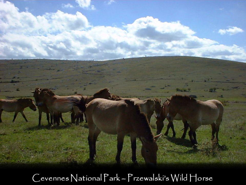 Cevennes National Park – Przewalskis Wild Horse