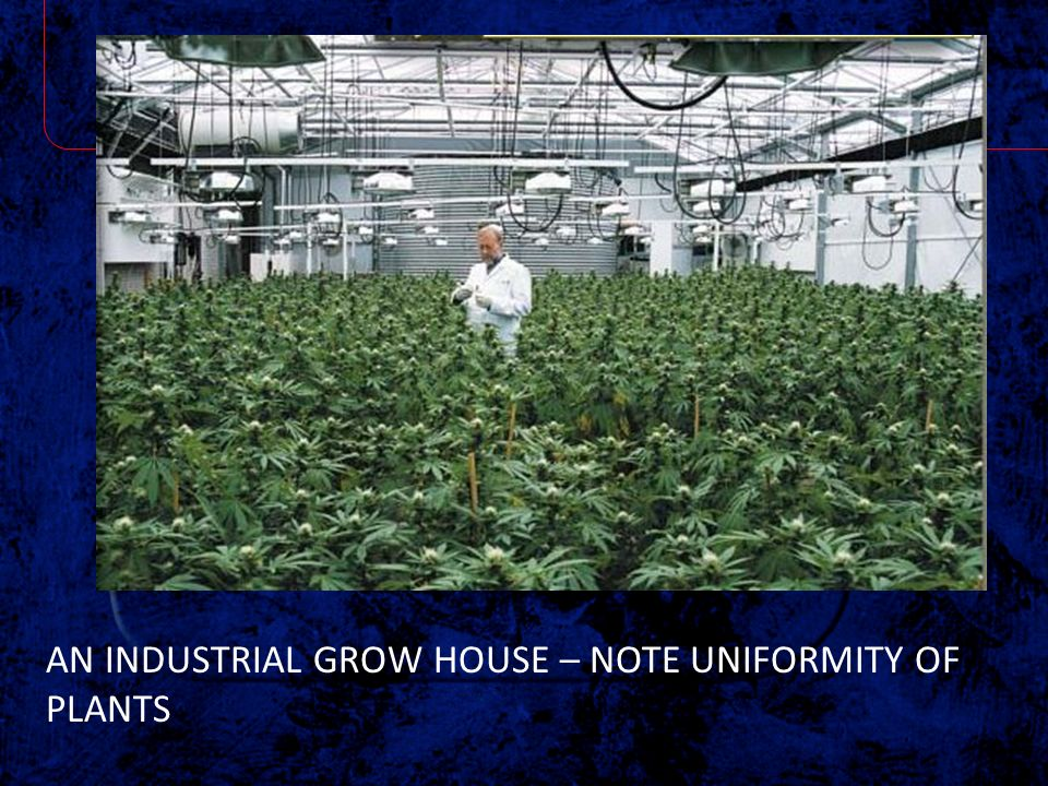 AN INDUSTRIAL GROW HOUSE – NOTE UNIFORMITY OF PLANTS