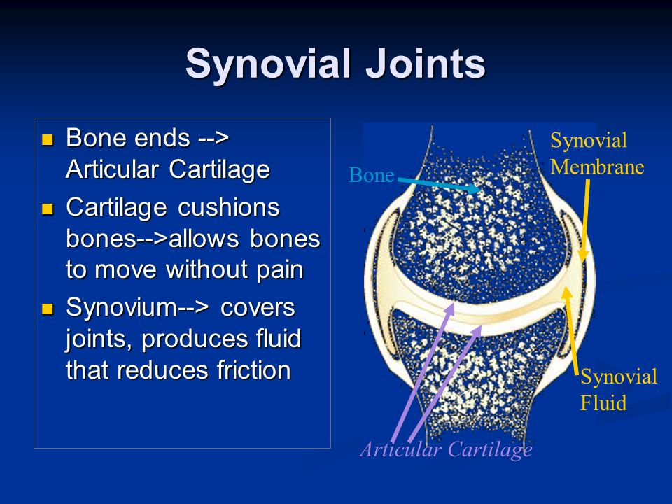 Synovial Joints Bone ends --> Articular Cartilage Bone ends --> Articular Cartilage Cartilage cushions bones-->allows bones to move without pain Carti
