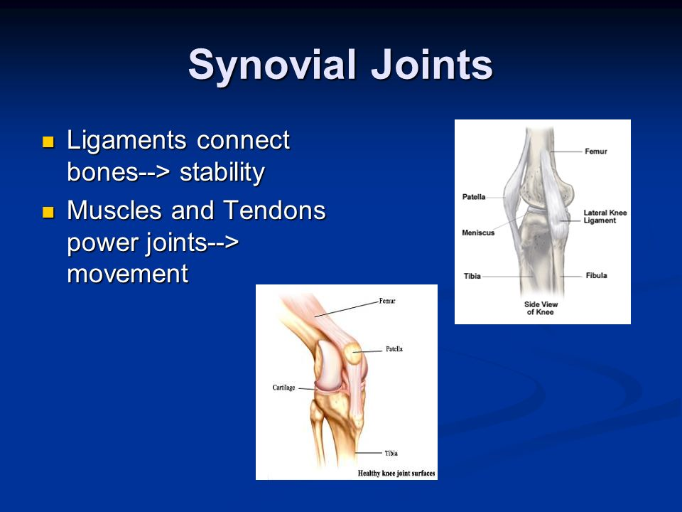Synovial Joints Ligaments connect bones--> stability Ligaments connect bones--> stability Muscles and Tendons power joints--> movement Muscles and Ten