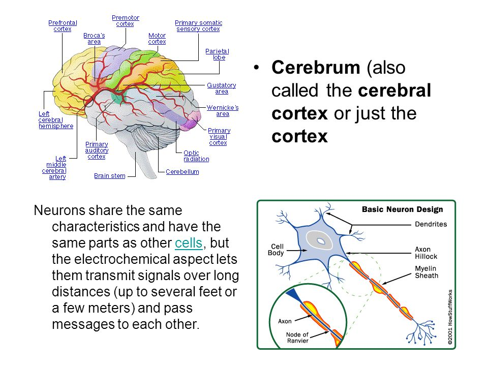 Cerebrum (also called the cerebral cortex or just the cortex Neurons share the same characteristics and have the same parts as other cells, but the el