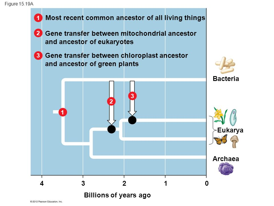 Figure 15.19A Most recent common ancestor of all living things Gene transfer between mitochondrial ancestor and ancestor of eukaryotes Gene transfer b