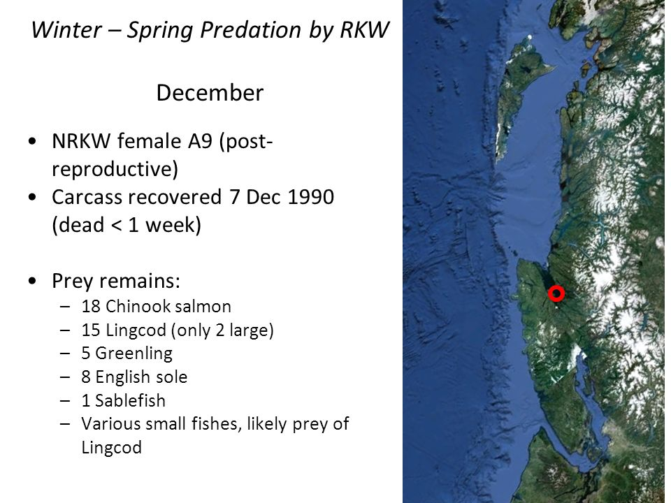 NRKW female A9 (post- reproductive) Carcass recovered 7 Dec 1990 (dead < 1 week) Prey remains: –18 Chinook salmon –15 Lingcod (only 2 large) –5 Greenl